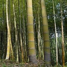 Moso Lewis Bamboo