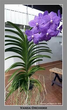vanda orchidee basler max berichtet in seinem thailand