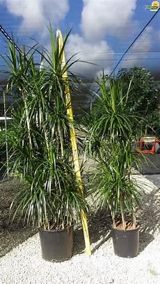 Dracaena Morning Dew Tropical Plants