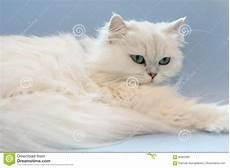 gatti persiani gatti persiani bianchi fotografia stock immagine di