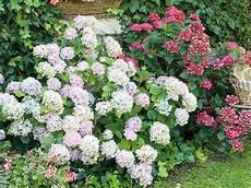 quand planter des arbustes comment et quand planter un hortensia dans jardin jardinage rustica