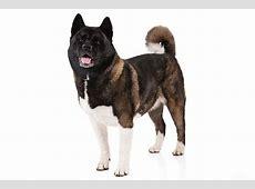 Akita Dog Breed Information