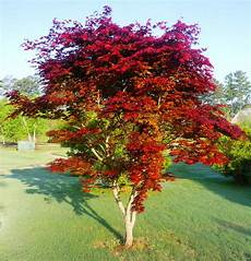 japanese maple www v