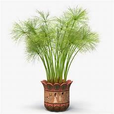 Cyperus Papyrus Plant Pot 3d Model Turbosquid 1195356