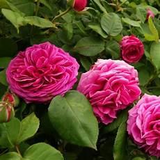 rosier ancien grimpant rosier ancien grimpant mme isaac p 233 reire rosier