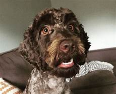 semi short haircut on a goldendoodle goldendoodles 25 best labradoodle haircuts for dog lovers the paws labradoodle haircut labradoodle