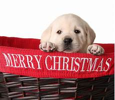 merry christmas puppy pictures 4 things to do right away with your christmas puppy robin