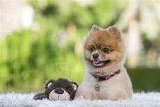 teddy pomeranian the dog that surely melts your heart