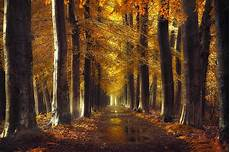 Fall Backgrounds Gold fall gold path trees forest leaves water