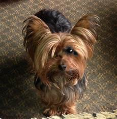 miniature yorkshire terrier haircuts for yorkies