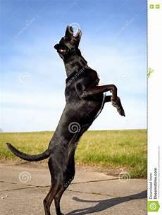 Schwarzer Hund Auf Hinterbeinen Stockbild Bild