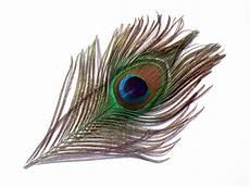 1 plume de paon naturelle 14 cm de longueur environ paon