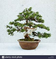 Bonsai Juniperus Chinensis Stockfotos Bonsai Juniperus