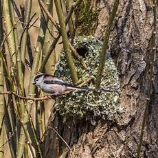 welcher vogel baut welches nest bild 4 aus beitrag das nest der schwanzmeise