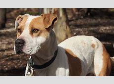 Pitbull (American Pit Bull Terrier) ?Hund mit dunkler