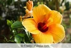 hibiskus richtig schneiden anleitung und zeitpunkt