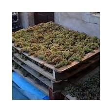 cassette per uva grappolo di uva curiosit 224 uva