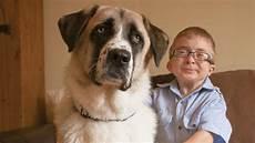 mit hund owen und haatchi behinderter hund hilft behindertem