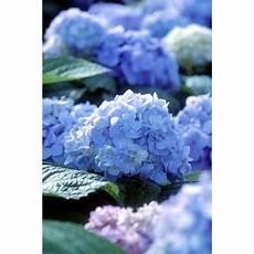 bauernhortensie endless summer blau h 246 he ca 50 cm topf ca