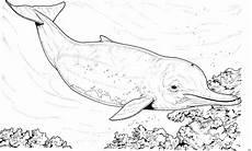 Ausmalbilder Tiere Delfin Grosser Delfin Ausmalbild Malvorlage Tiere