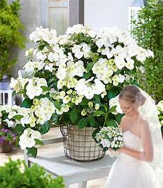 wie schneidet hortensien girlanden hortensie quot runaway 174 quot 1 pflanze g 252 nstig