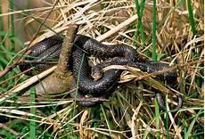 serpenti da tenere in casa come tenere lontani i serpenti dalla casa vita in cagna
