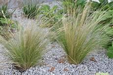 gräser im steingarten ziergr 228 ser im garten gartenratgeber net