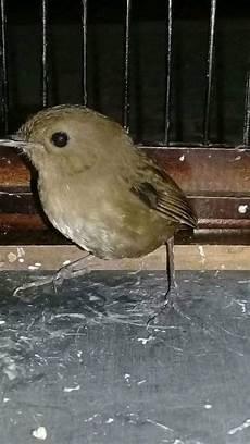 Ciri Ciri Burung Jongkangan Cing Coang Jantan Dan Betina