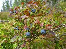 heidelbeeren pflanzen qg36 casaramonaacademy