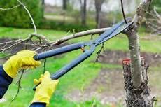 bäume schneiden bei pfingstrosen 187 wann sollten sie sie schneiden