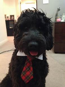 black labradoodle haircuts my black labradoodle midnight labradoodle haircut labradoodle puppy goldendoodle haircuts