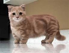 Katze Mit Kurzen Beinen - things you must about munchkin cat cats breed