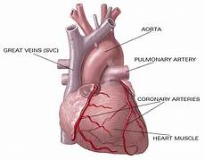 Keperawatan Kebidanan Ilmu Kesehatan Gambar Anatomi Jantung