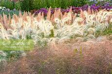 gap gardens mixed bed of ornamental grasses pennisetum