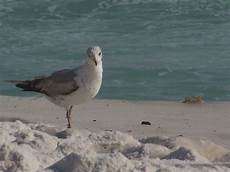 Seagull Apartments Ks by Destin Fl Seagull In The Sand Photo Picture Image