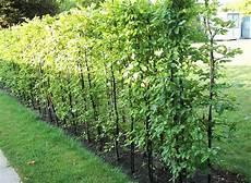 die hecke natuerlicher zaun und hainbuchenhecken wei 223 buche carpinus betulus garten