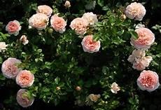 роза королева цветов