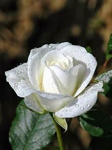 Kumpulan Gambar Bunga Mawar Putih Yang Cantik Indah