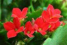 pflanze mit roten blüten giftige und ungiftige zimmerpflanzen und pflanzen