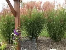 gräser im garten als sichtschutz dekorative gr 228 ser im garten wissenswertes und praktische