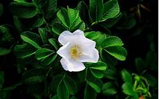 White Flowers Hd Images by White Flower Hd Wallpapers