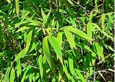 bambou non invasif bambou non tra 231 ant fargesia compact et non invasif