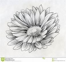disegni di fiori a matita schizzo della matita fiore della margherita