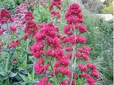 fleurs rouges vivaces