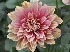 fiore della rinascita linguaggio dei fiori giardinaggio mobi