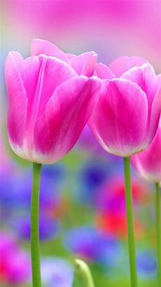 Apple Iphone 6 Wallpaper With Pink Tulips Flower Hd