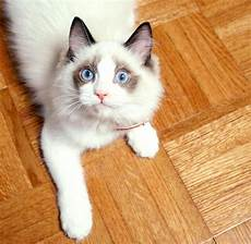 cat breed top 10 basic house cat breeds