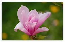 magnolia flower iphone wallpaper pink magnolia flower 4k hd desktop wallpaper for 4k ultra