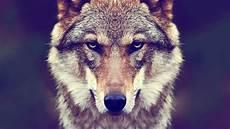 Ultra Hd Wolf Wallpaper 4k
