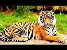 Kehidupan Hewan Harimau Ragunan Jakarta Tonton Videonya